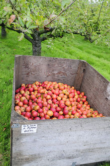 abundance of ripe red Malus Domestica (Apples) in wooden container in orchard