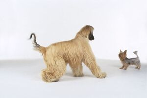 animals/afghan hound australian terrier standing face