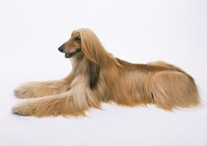 Afghan Hound (Canis familiaris) lying down, paws out front, side view