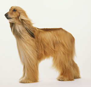 Afghan hound (Canis familiaris) standing in wind, side view.