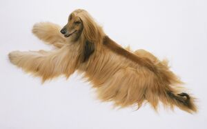 Afghan hound (Canis familiaris), view from above.