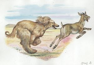 Afghan hound Canis lupus familiaris chasing goat, illustration