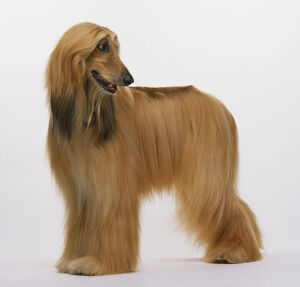 An Afghan hound with a silky coat.