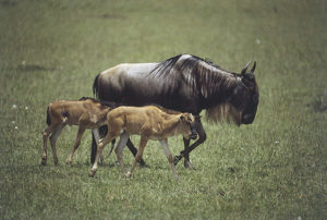 Africa, Kenya, Masai Mara, Wildebeest (Connochaetes taurinus), mother and two calves