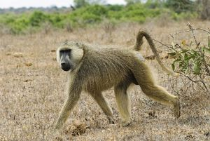 Africa, Kenya, Tsavo East National Park, Yellow Baboon (Papio cynocephalus) on savannah