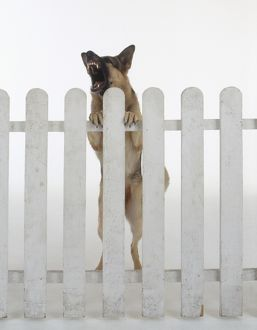 Aggressive German Shepherd dog rearing up and barking behind white picket fence