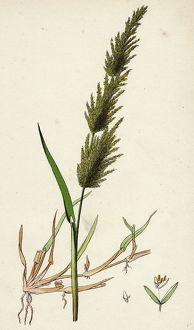 Agrostis alba; Marsh Bent-grass