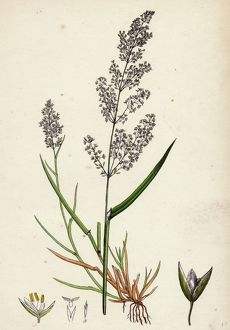 Agrostis alba, var. genuina, Marsh Bent-grass, var. a.