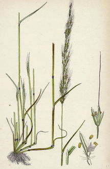 Agrostis interrupta, Dense-flowered Silky Bent-grass