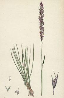 Agrostis setacea, Bristle-leaved Bent-grass
