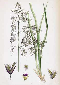 Aira eu-caespitosa, Tufted Hair-grass