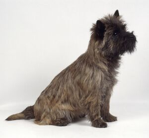 Alert Cairn Terrier sitting and looking up