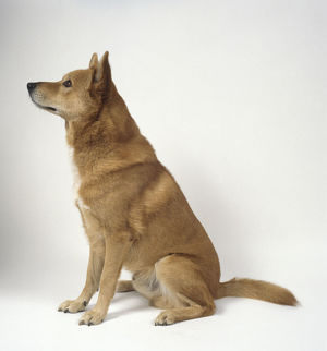 Alert red Canaan Dog, sitting