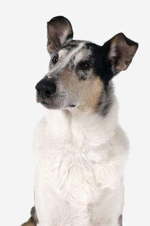 Alert shorthaired white, brown and black tricolour Smooth Collie, sitting