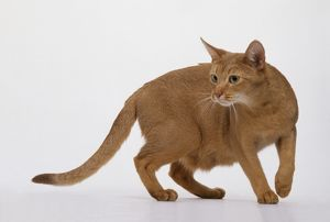 Alert sorrel Abyssinian Cat with whiskers forwards