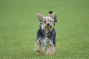 Alert Yorkshire Terrier with large ears, standing on grass