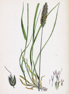 Alopecurus pratensis, Meadow Fox-tail-grass