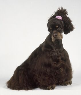 American Cocker Spaniel dog with ears tied back to show shape of head