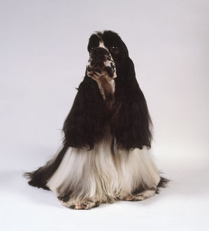 An American cocker spaniel with long black ears and long feathery white hair draping