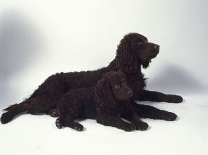 American Water Spaniel and puppy lying down
