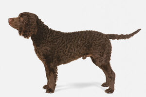 American Water Spaniel, side view