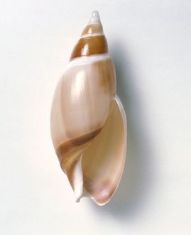 Ancilla shell showing aperture or opening