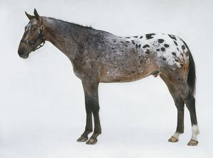 Appaloosa horse, side view