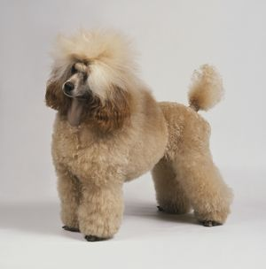 Apricot Standard Poodle, standing