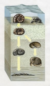 Artwork cross-section diagram of the ocean floor and the stages of the fossilization