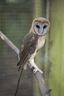 Ashy Faced Owl (Tyto glaucops) perching on branch