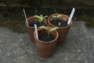 Aubergine seedlings in plant pots, close-up