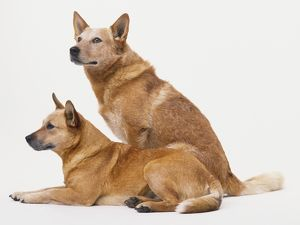 animals/australian cattle dogs canis familiaris sitting