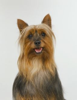 animals/vertical/australian silky terrier canis familiaris looking