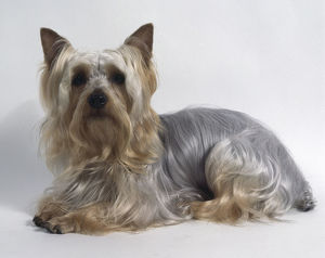 Australian Silky Terrier, lying down, with silky grey blond long hair and small pointed