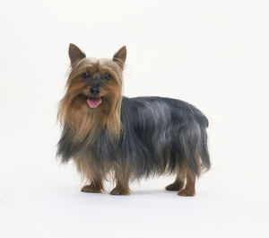 Australian silky terrier, standing with its tongue out, looking at camera