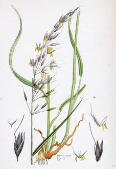 Avena elatior, False Oat-grass
