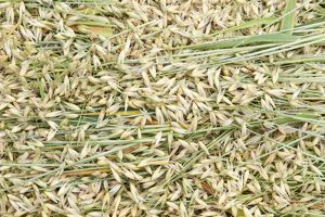 Avena sativa (Oat) grasses and husks, full frame