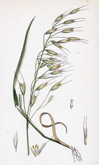 Avena strigosa, Black Oat