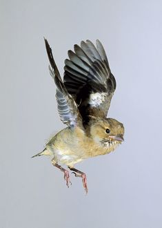 A baby Chaffinch (Fringilla coelebs) in mid-flight with wings raised