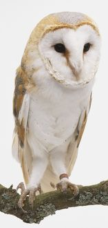 Barn Owl (Tyto alba), white owl with brown and grey feathers, perching on a branch