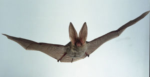 Bat in flight - front view showing face and long ears Plecotus austriacus (Long-eared bat)