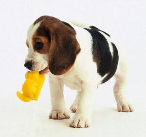 A beagle dog holding a yellow toy in its mouth.