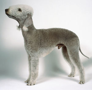 Bedlington terrier on all fours, side on