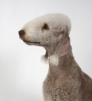 Bedlington Terrier, head and shoulders, side view