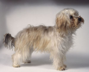 Bichon-Yorkie (Bichon Frise and Yorkshire Terrier) cross-bred semi-longhaired dog