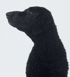 Black Curly Coated Retriever dog