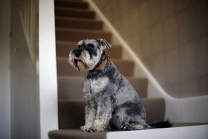 Black and grey Miniature Schnauzer sitting on staircase in house