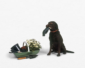 Black Labrador Retriever sitting next to trug of gardening equipment and flowers