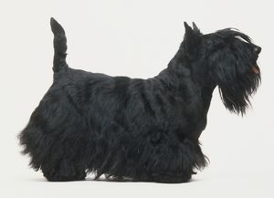 Black Scottish Terrier (Canis familiaris) standing, tail pointing up, side view
