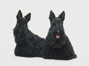Two black Scottish Terrier dogs sitting, hair covering eyes, front view